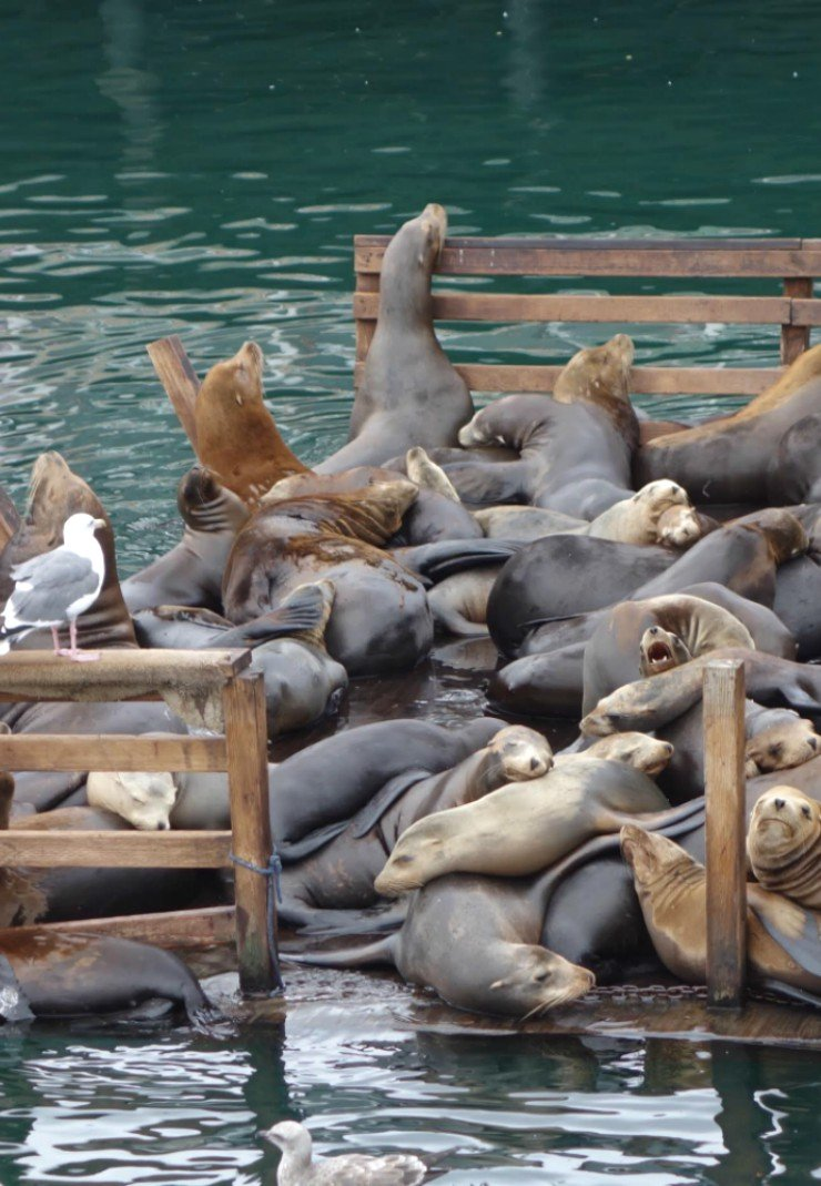 Watching the sea loins on the pier at Fishermans Wharf in Monterey is a must for families!