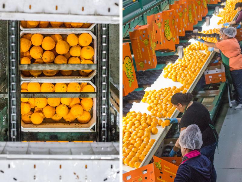 Sumo Citrus Factory