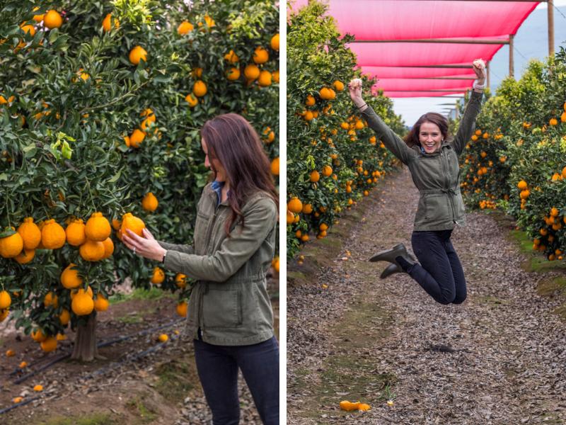 Sumo Citrus Orange Grove